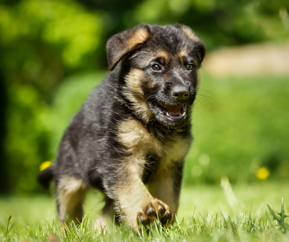 Puppy Introductory course for future SAR dogs – PAT (puppy aptitude test)